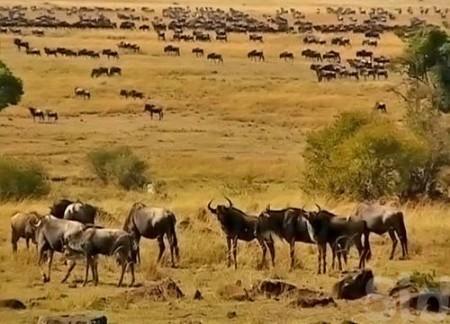 2:非洲草原野生动物大迁徒 每年的7月中旬到8月中旬是非洲动物大迁徙