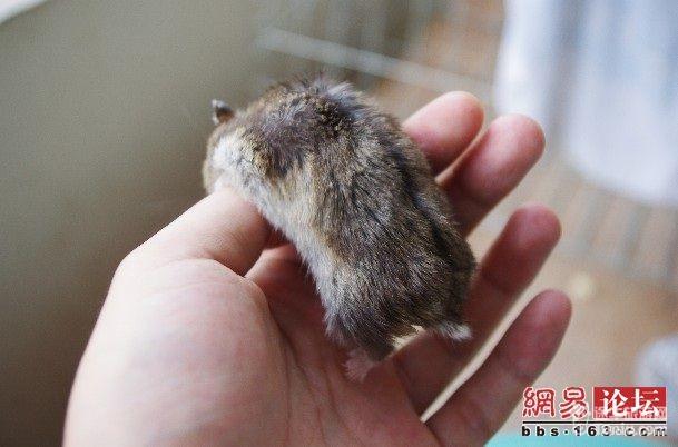 捡到一只宠物小仓鼠,可爱死了