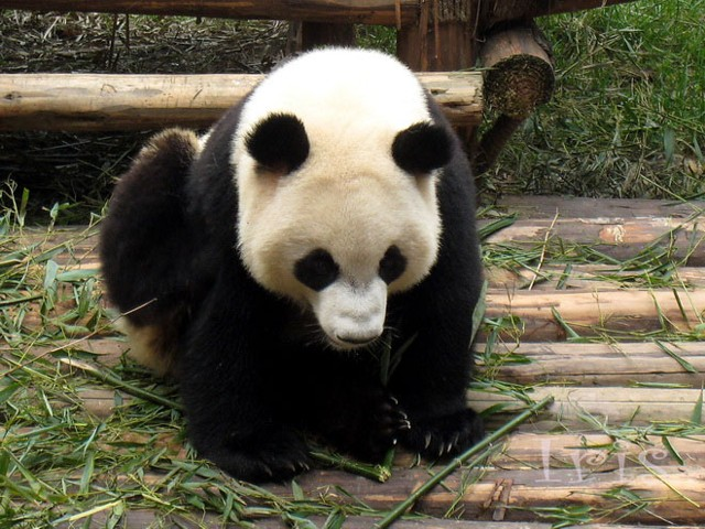 这只刚出生的小熊猫萌爆了!