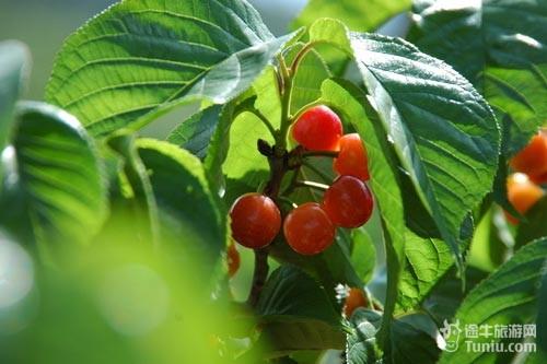 除了樱桃,其他应有的北方水果在这里都有