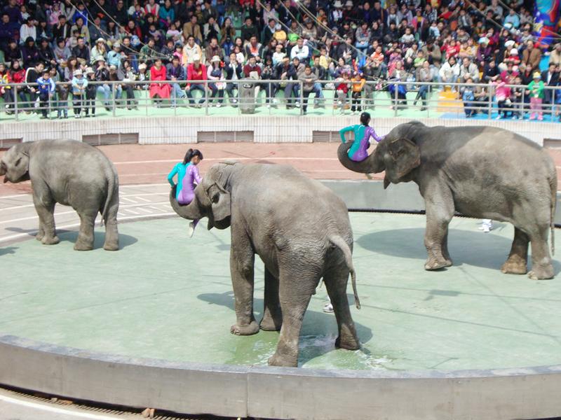 上海野生动物园010大象表演.
