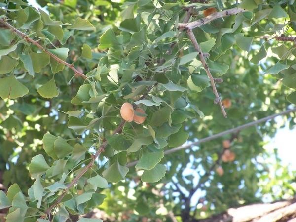 银杏果树图片大全