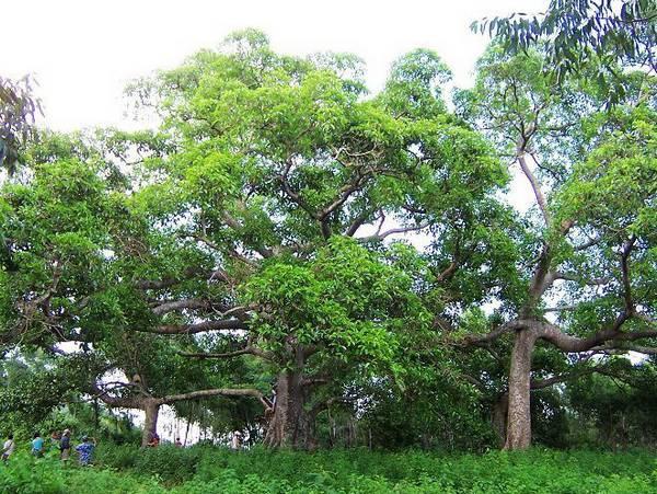 景点第三站:奇树——六体连榕树 独木成林在海南比比皆是,但六体连