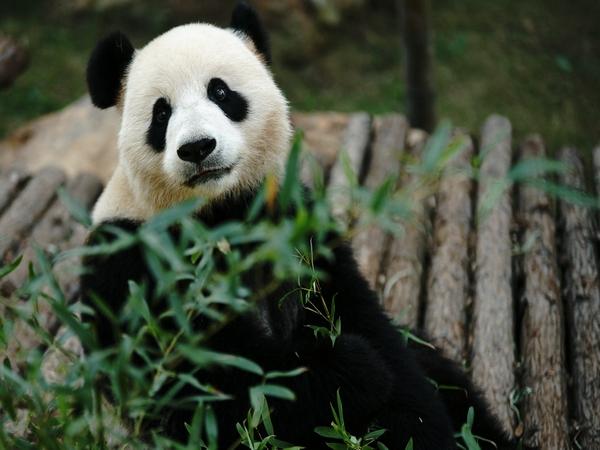 从入住南山竹海熊猫馆开始,他们就因为拥有得天独厚的良好生活环境,加